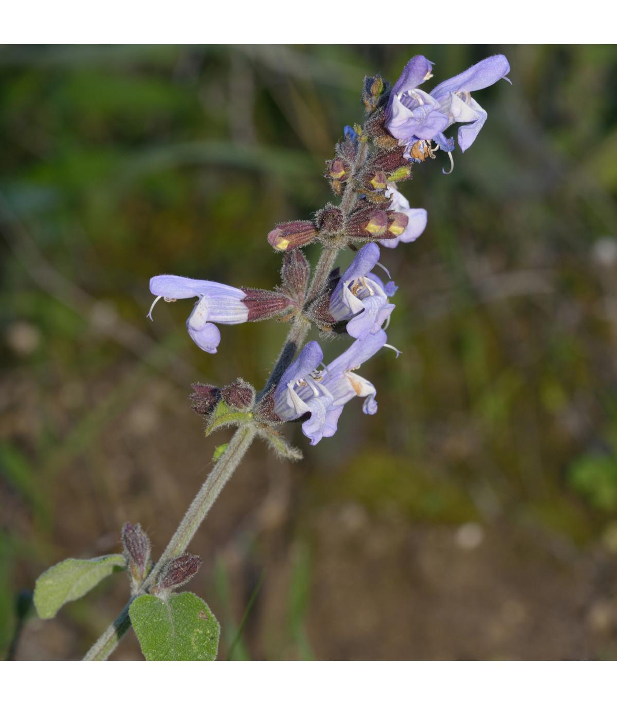Šalvia železníkovitá - semená - 12 ks - Salvia verbenaca