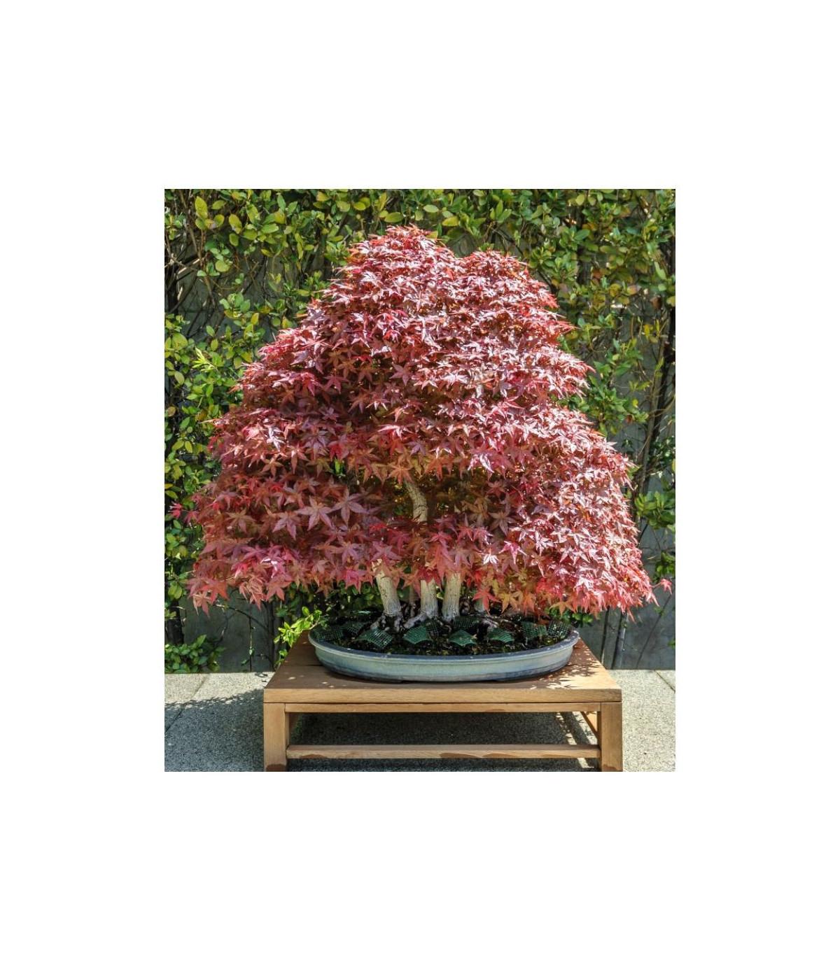Javor japonský - semená Javora - Acer palmatum - 5 ks