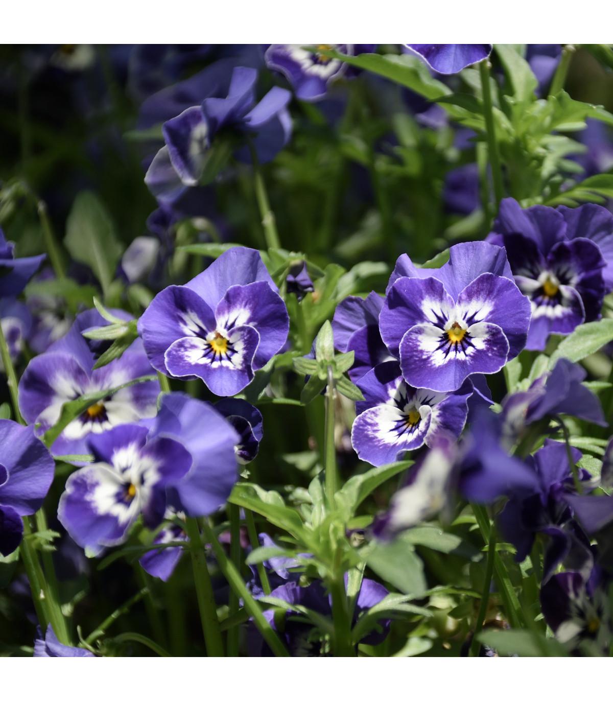 Sirôtka Hiemalis modrobiela - semená Sirôtok - Viola wittrockiana - 0,3 gr