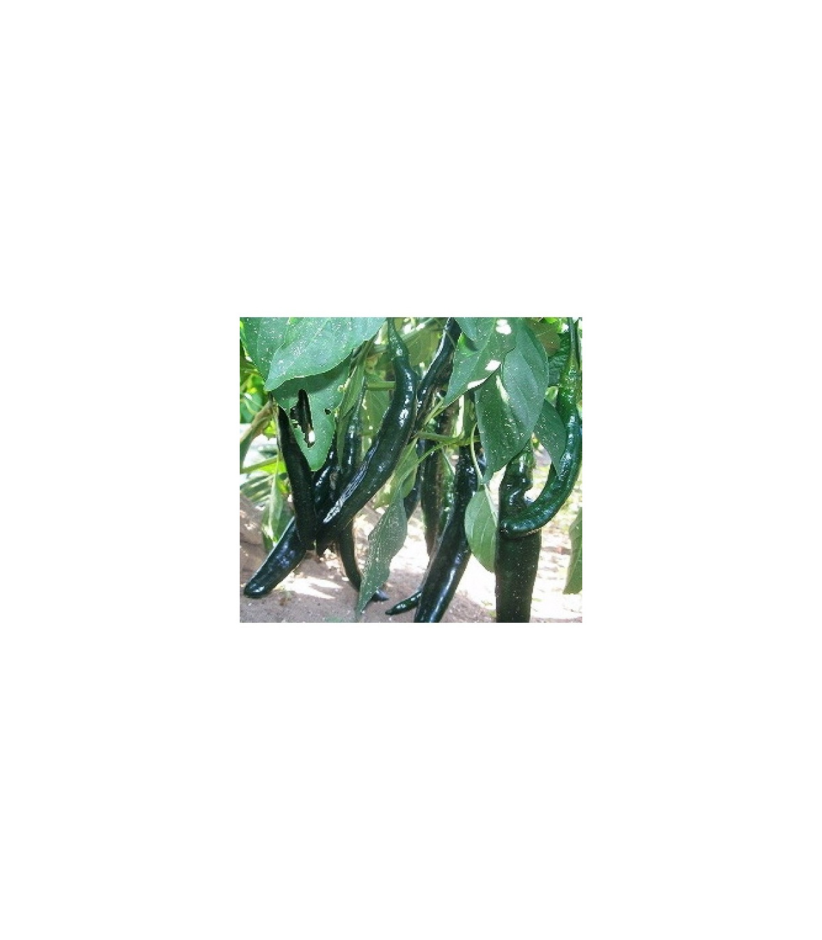 Chilli - semena - 7 ks - Pasilla Bajio