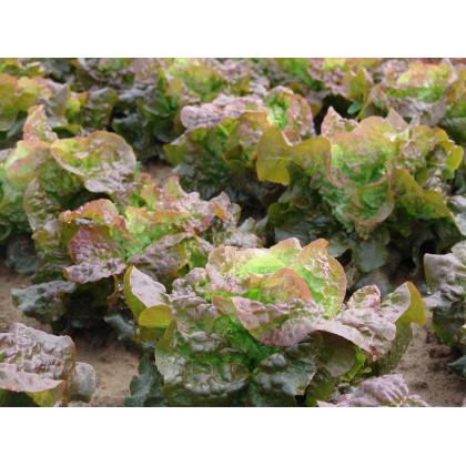 Šalát hlávkový červený Rosemarry - semená - 0,3 gr - Lactusa sativa