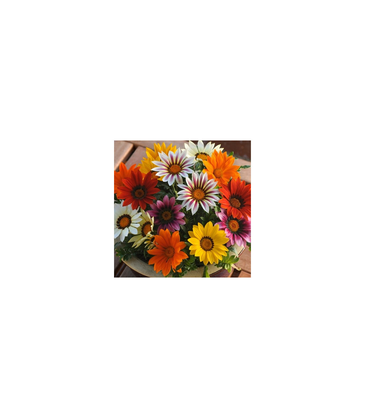 Gazánia žiarivá zmes farieb - Gazania splendes - predaj semien gazánie - 50 ks