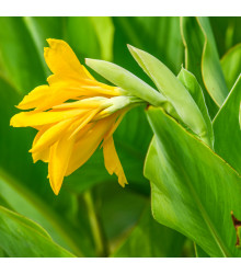 Kanna indická - semená - 6 Ks - Canna indica