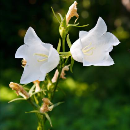 Zvonček broskyňolistý biely - Campanula persicifolia alba- osivá trvaliek - 0,02 g
