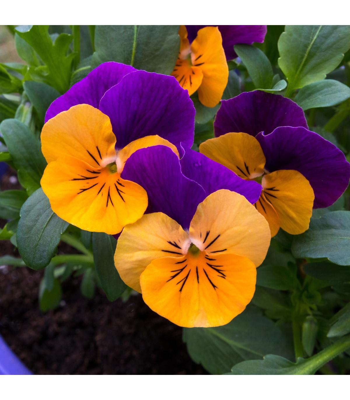 Sirôtka Jolly Joker F2 - Viola wittrockiana - predaj semien sirôtiek - 0,3 g