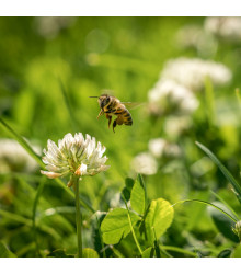 Vytrvalé Kvety Pre Včely - Semená - 10 g