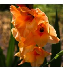 Gladiola Ovatie - Cibule Gladiol - 3 Ks