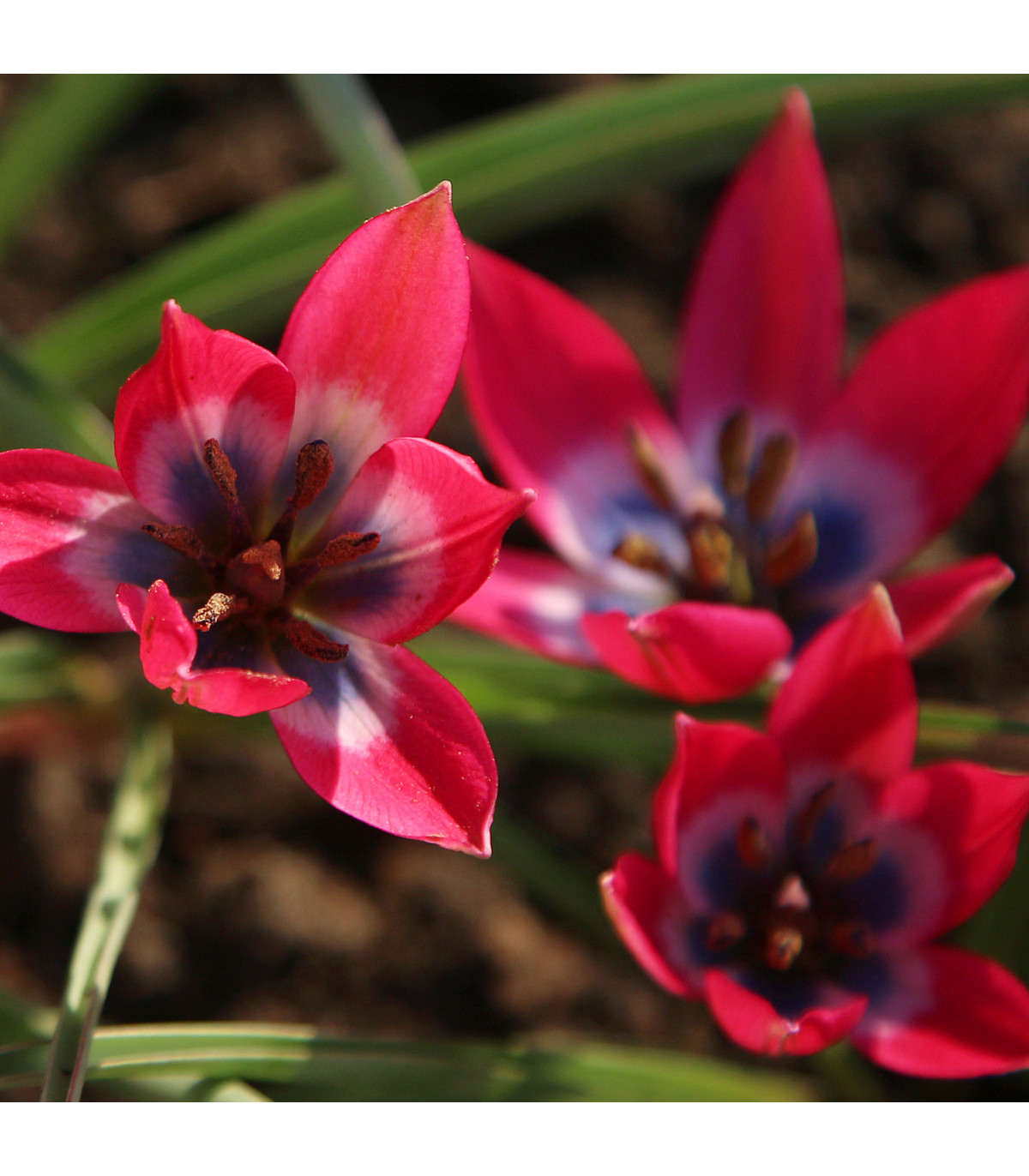 Tulipán Little Beauty - Tulipa - cibuľoviny - 3 ks