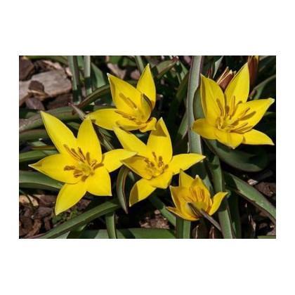Tulipán Urumiensis - cibule nízkých holandských Tulipánů - Tulipa - 4 ks