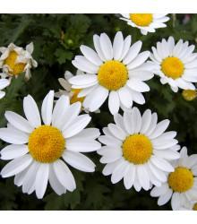 Margaréta balkónová biela - semená - 0,5 gr - Chrysanthemum paludosum