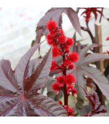 Ricín obyčaný červený -  semená ricínu - 3 ks - Ricinus communis gibsoni