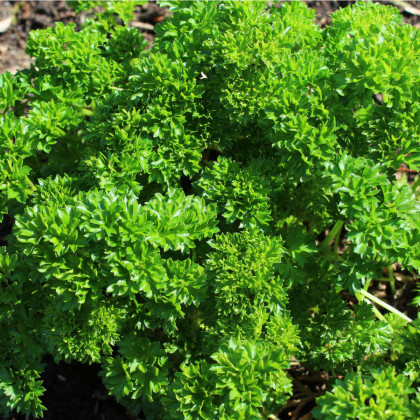 BIO Petržlen vňaťový - Zelená perla - bio osivo - 600 ks
