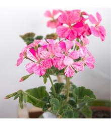 Muškát páskavý - Horizon mix farieb - predaj semien pelargonií - Pelargonium zonale - 4 ks