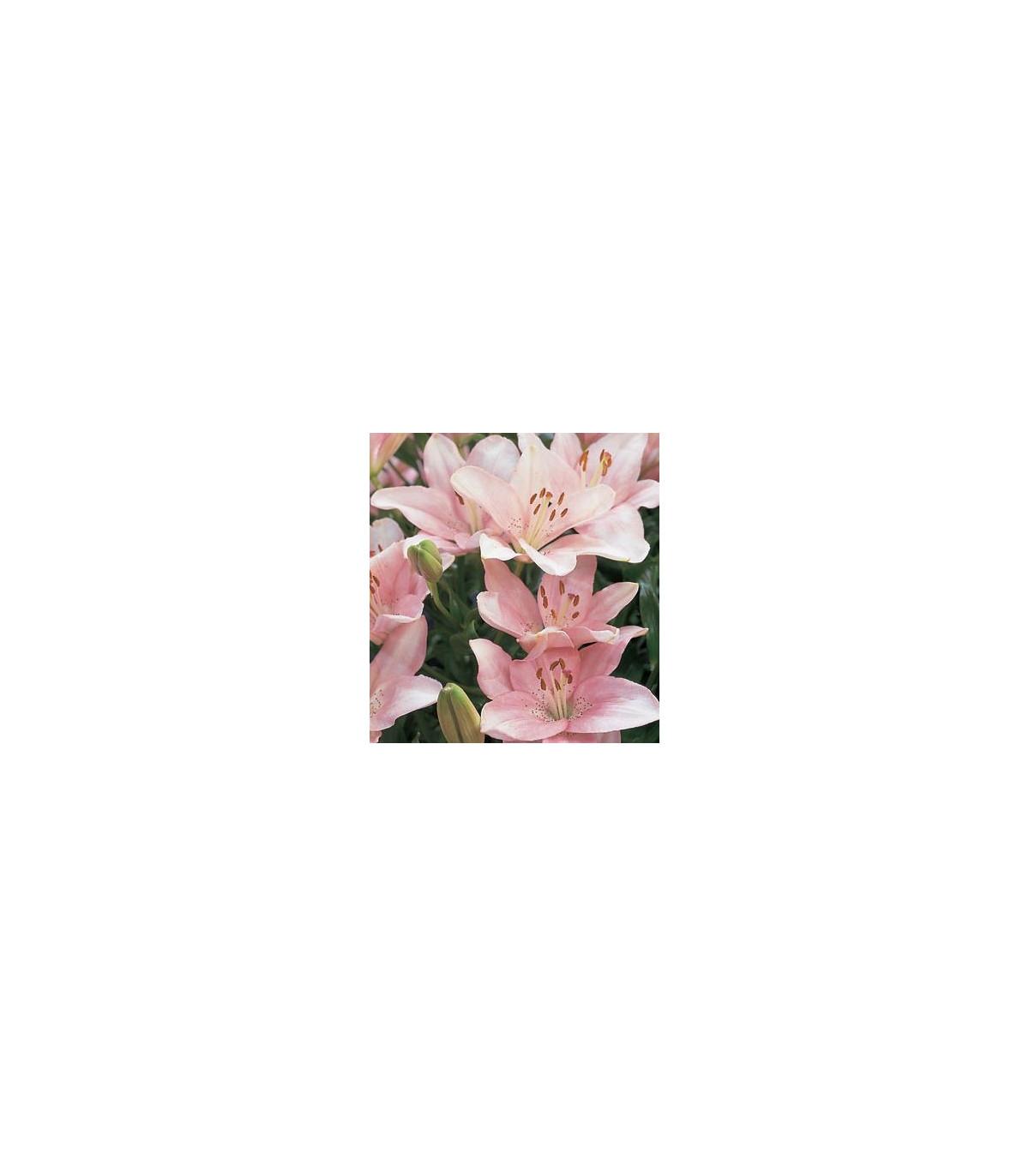 Lilie Vivaldi - růžová - cibule Lilie - Lilium - 1 ks