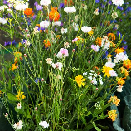 Letničky zmes - romantická záhrada - semená letničiek - 0,9 g
