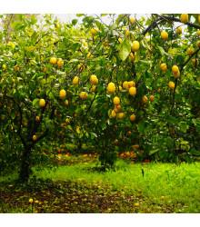 Citrónovník pravý - Citrus Limon - semená citrónovníku - 5 ks