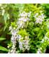Šalvia Victoria White - Salvia farinacea - predaj semien šalvie - 12 ks