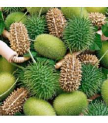 Okrasná uhorka - Cucumis insignis - predaj semien - 6 ks