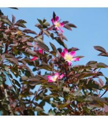Ruža popínavá ružová - Rosa glauca - predaj semien ruží - semená - 5 ks