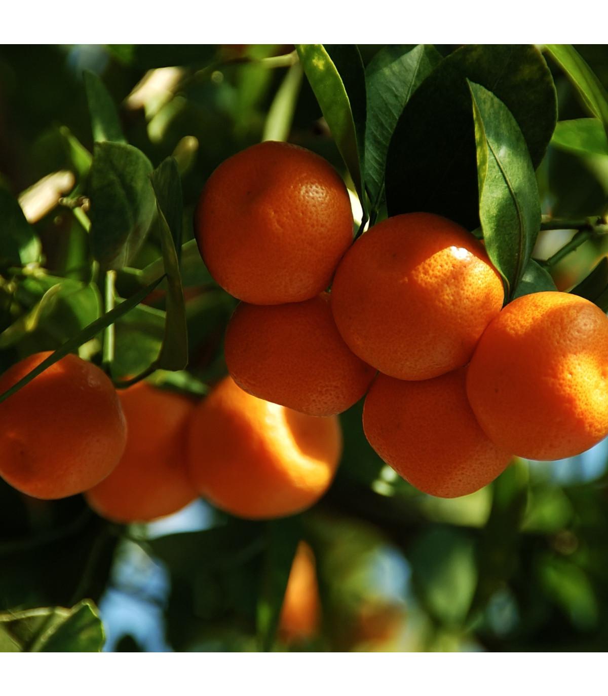 Pomerančovník zakrslý - semena Pomerančovníku - Citrus mitis - 3 ks