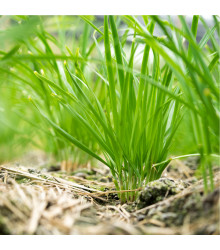 BIO Pažítka pobrežná Polyvert - Allium schoenoprasum L.- bio semená - 0,4 g