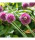 Cesnak Okrasný - Allium Sphaerocephalon - Cibule Cesnaku - 3 Ks