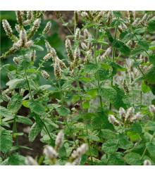 Mäta jablčná - Mentha rotundifolia - Mäta egyptská - predaj semien mäty - 25 ks
