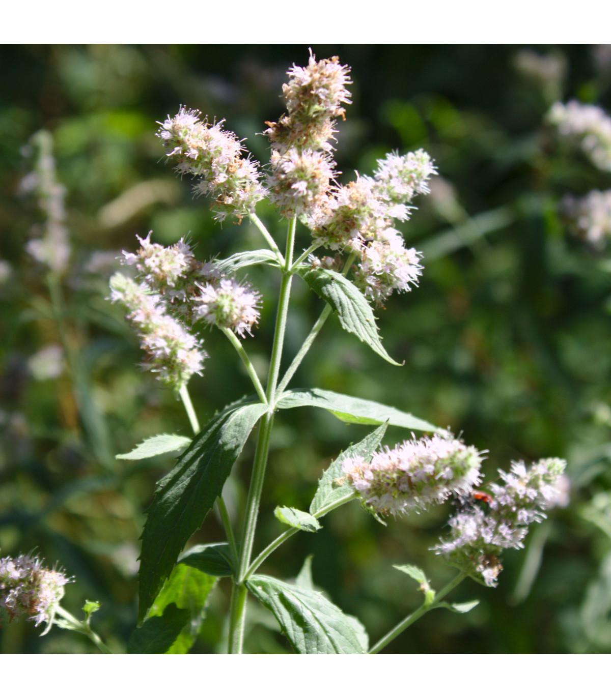 Máta dlouholistá - semena Máty - Mentha longifolia - 20 ks