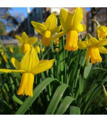 Narcis February Gold - Narcissus - predaj cibuľovín - 3 ks