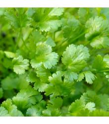 BIO Koriander siaty Caribe - Coriandrum sativum - predaj bio semien - 50 ks
