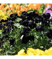 Sirôtka Mariposa Black F1 - čierna - Viola wittrockiana - predaj semien - 20 ks