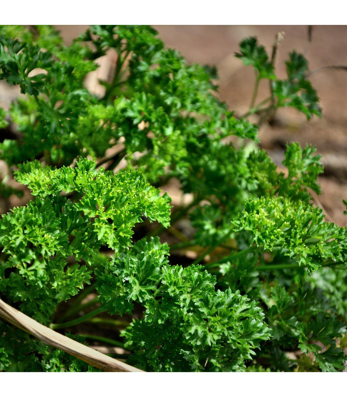 Petržlen Starlett - Petroselinum crispum - semienka - 500 ks