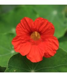 Kapucínka Jewel Cherry Rose - Tropaeolum Minus - predaj semien - 10 ks