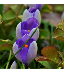 Krókus Yalta - Crocus sativus - predaj cibuľovín - 3 ks