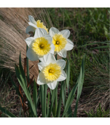 Narcis Ice Follies - Narcissus L. - predaj cibuľovín - 3 ks