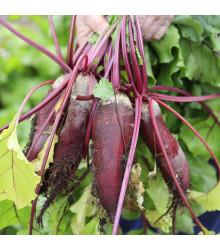 BIO Repa šalátová Forono - Beta vulgaris - predaj BIO semien - 100 ks