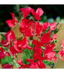Hrachor voňavý kráľovský Scharlach - Lathyrus odoratus - predaj semien - 16 ks