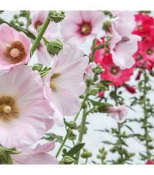 Topoľovka plnokvetá Chaters mix farieb - Alcea rosea - predaj semien - 12 ks