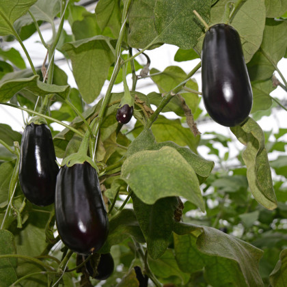 Baklažán český skorý - Solanum melongena - semená baklažána - 100 ks