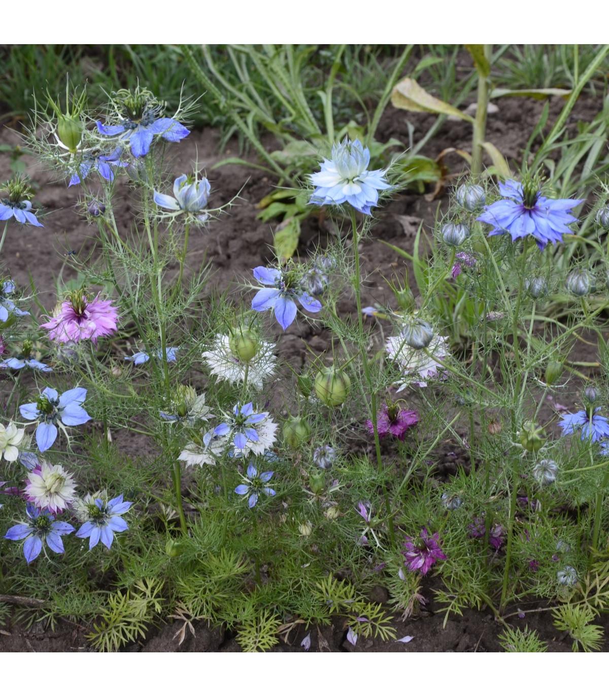 Černuška damascénska - semená Černušky - Nigella damascena - 25 ks - zmes farieb
