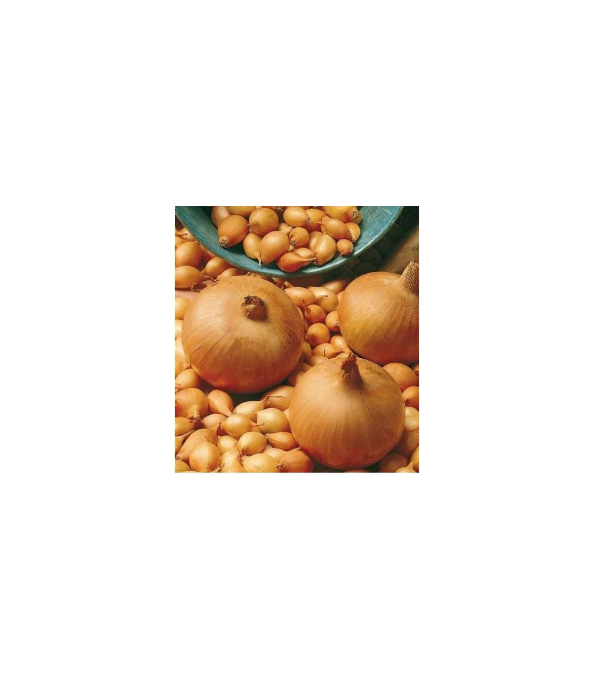 Cibuľa kuchynská Sturon - semená - 250 ks - Allium cepa