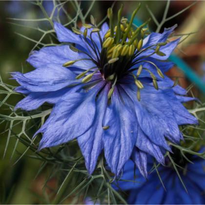 Černuška damascénska modrá - semená - 200 ks - NIgella Damascena