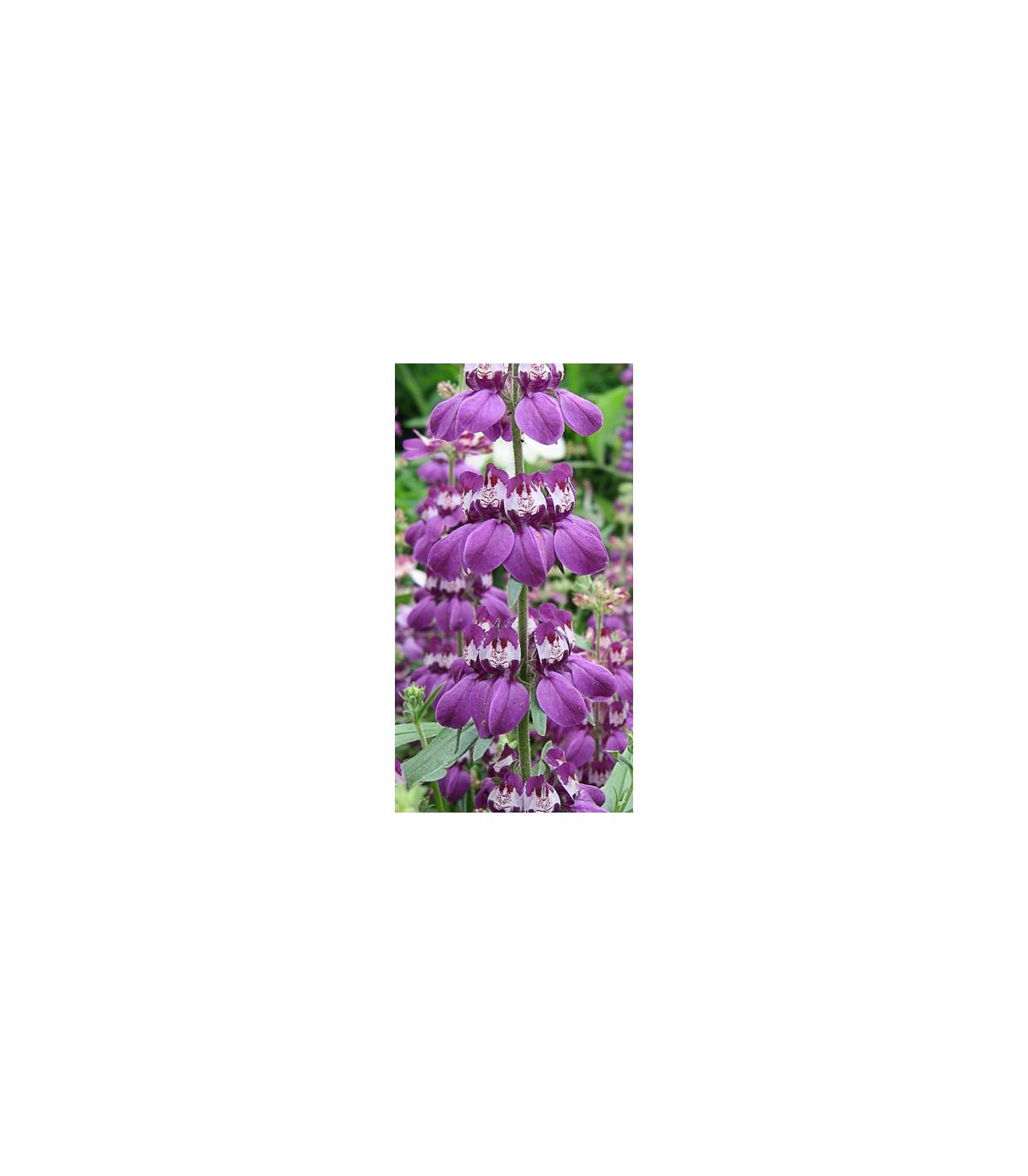 Kolinsia rôznolistá Bicolor - semená - 10 ks - Collinsia heterophylla