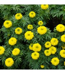 Aksamietnica vzpriamená nízka Cupido žltý - Tagetes erecta nana - semená Aksamietnice - 100 ks