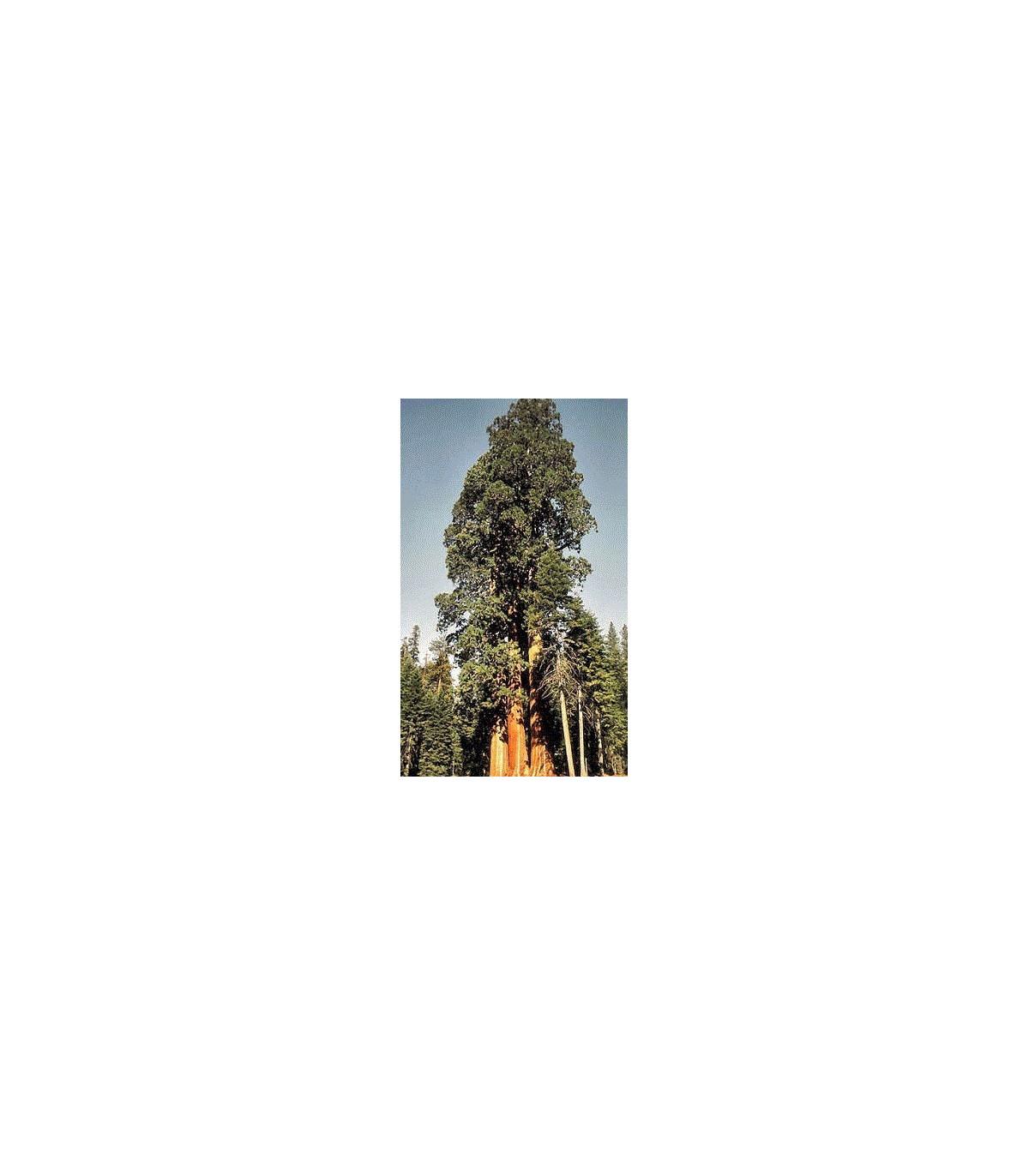 Sekvoj obrovská - semena Sekvoje - Sequioia giganteum - 3 ks