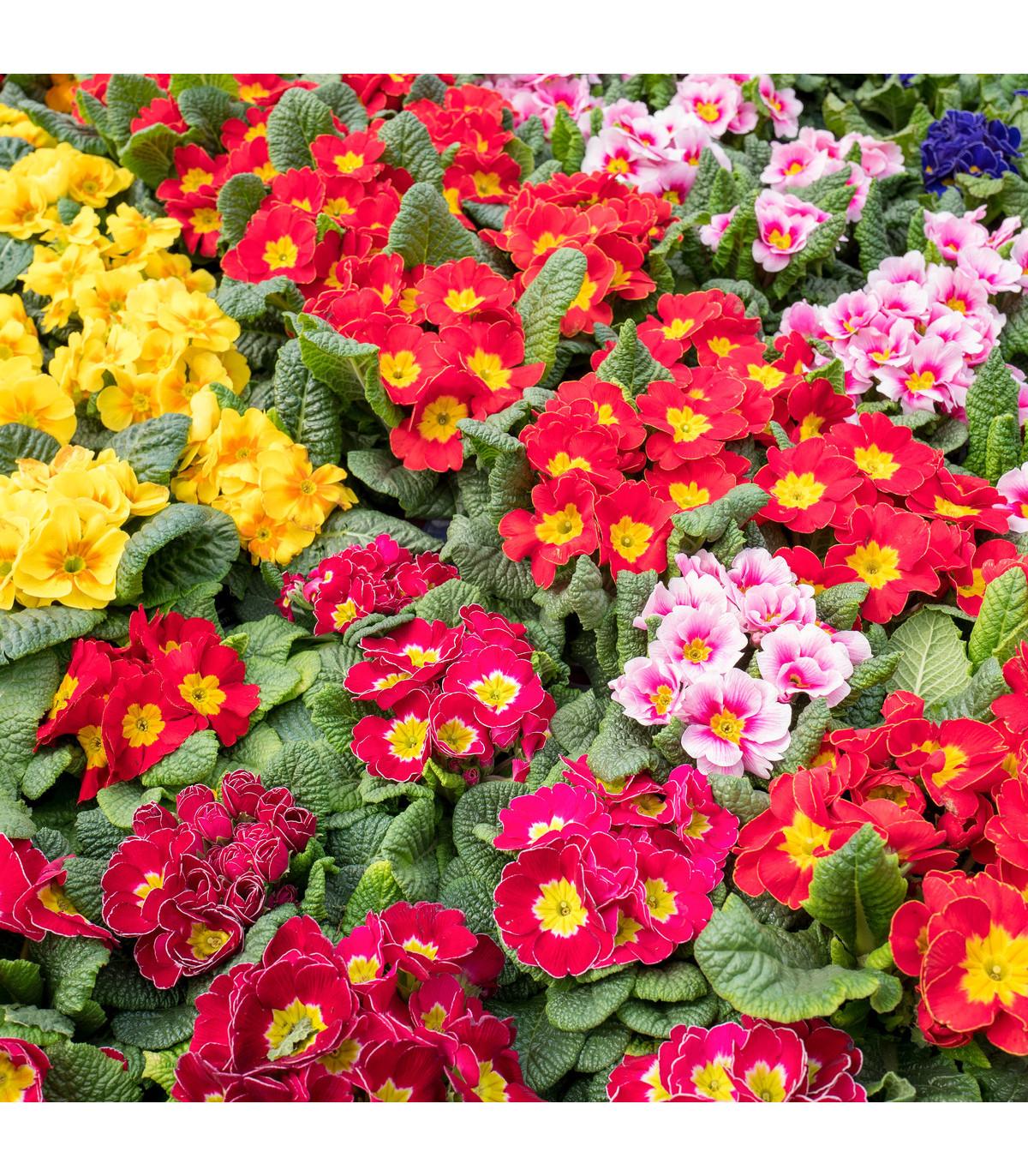 Prvosienka bezbyľová zmes farieb- Primula acaulis - 50 ks