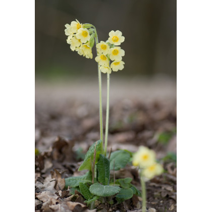 Prvosienka veľkokvetá Oxlip - Primula elatior - semená prvosienky -  20 Ks