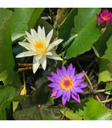 Lekno zmes farieb - semená Lekna - 5 ks - Nymphaea caerulea