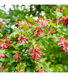 Javor tatársky - Acer tataricum - predaj semien javora - 5 ks