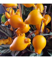 Solanum mammosum - semená - 5 ks